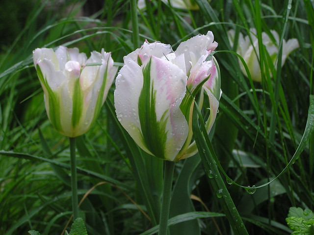 Tulipa Viridaflora Group