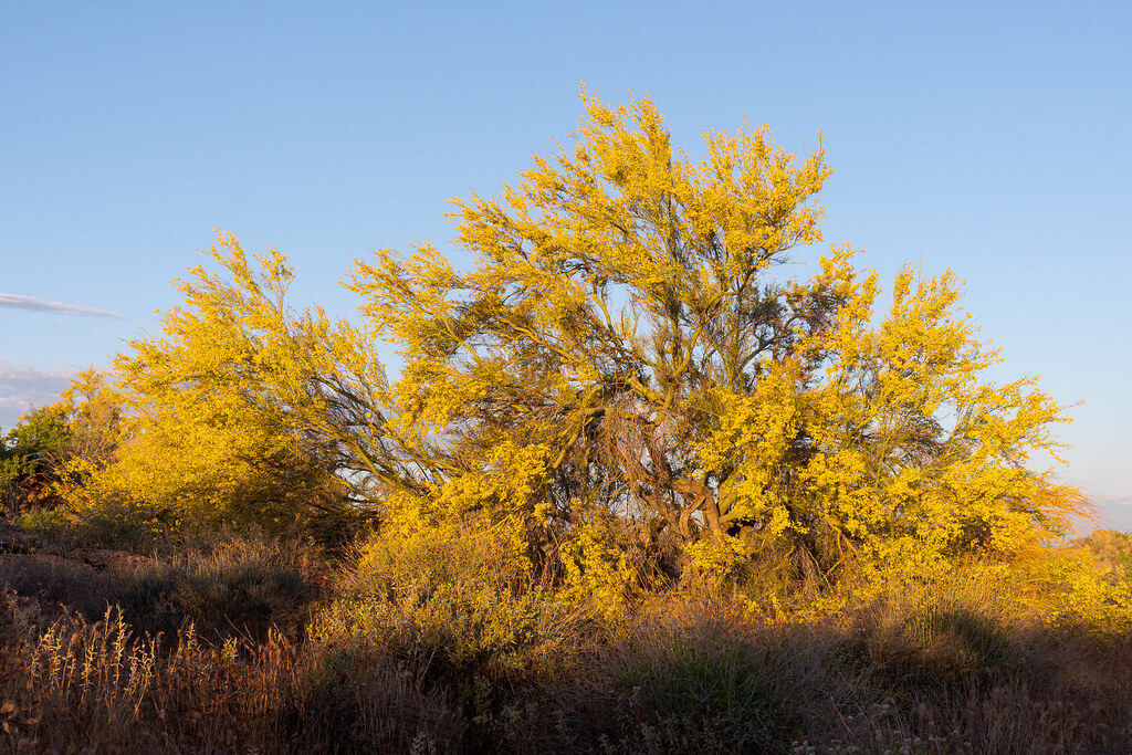 A large palo verde blooms in an explosion of color along the Hackamore Trail in McDowell Sonoran Preserve in Scottsdale, Arizona in May 2019