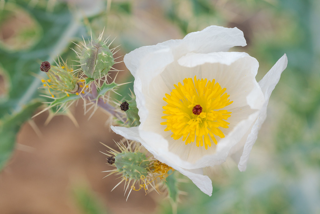 A Southwestern prickly poppy blooms in May 2019 along the 118th Street Trail in McDowell Sonoran Preserve in Scottsdale, Arizona