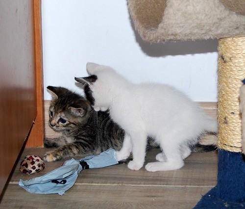 Donatella, gatita parda dulce y guapetona nacida en Abril´19, en adopción. Valencia. ADOPTADA. 48013463246_c58c7fe9a0