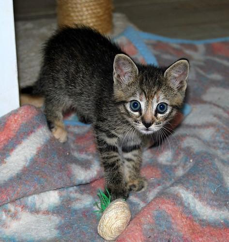 Donatella, gatita parda dulce y guapetona nacida en Abril´19, en adopción. Valencia. ADOPTADA. 48013472321_62784b2b80