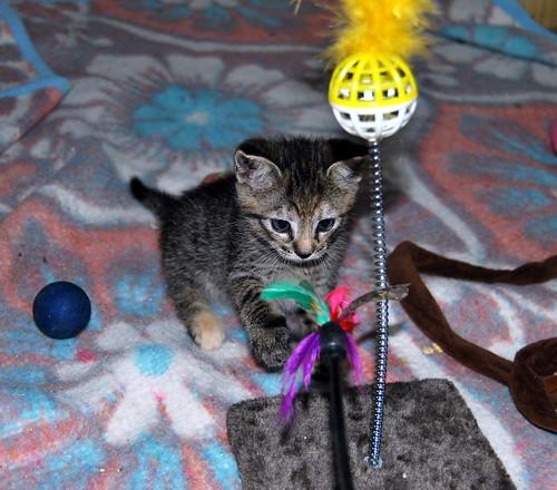 Donatella, gatita parda dulce y guapetona nacida en Abril´19, en adopción. Valencia. ADOPTADA. 48013558302_b28b06f04a
