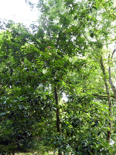 Magnolia sp. (MAGNOLIACEAE).