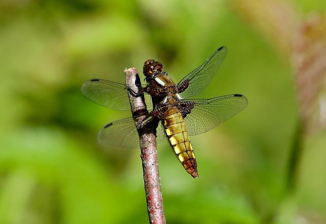 Female Broad-bodied Chaser ---- Libellula depressa