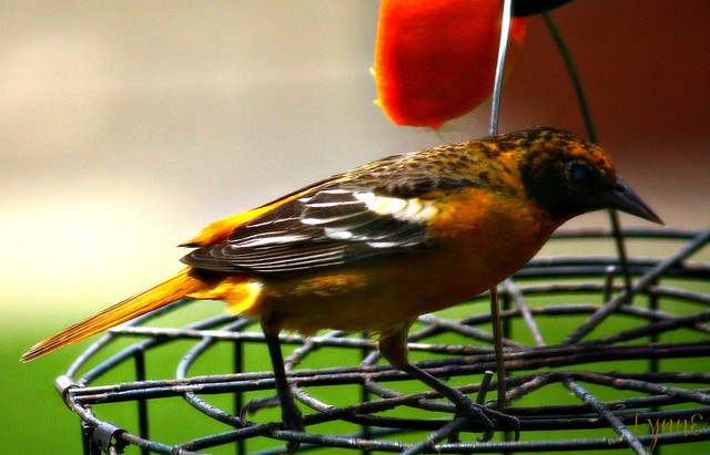 Lady Oriole at the Feeder