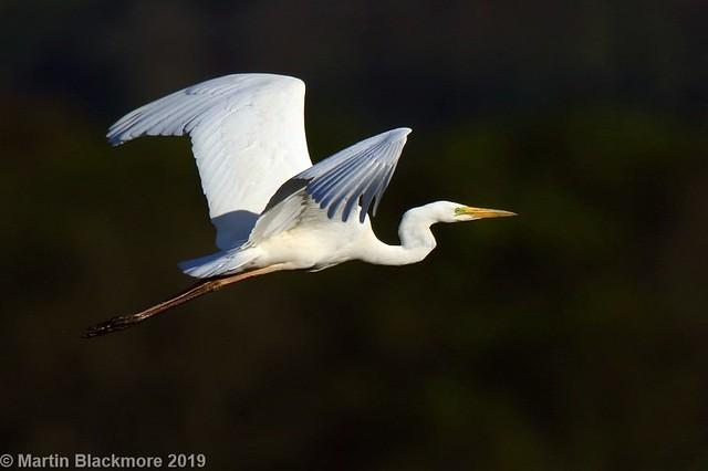 Great White Egret in flight I37911