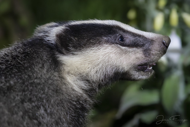 Badger close-up