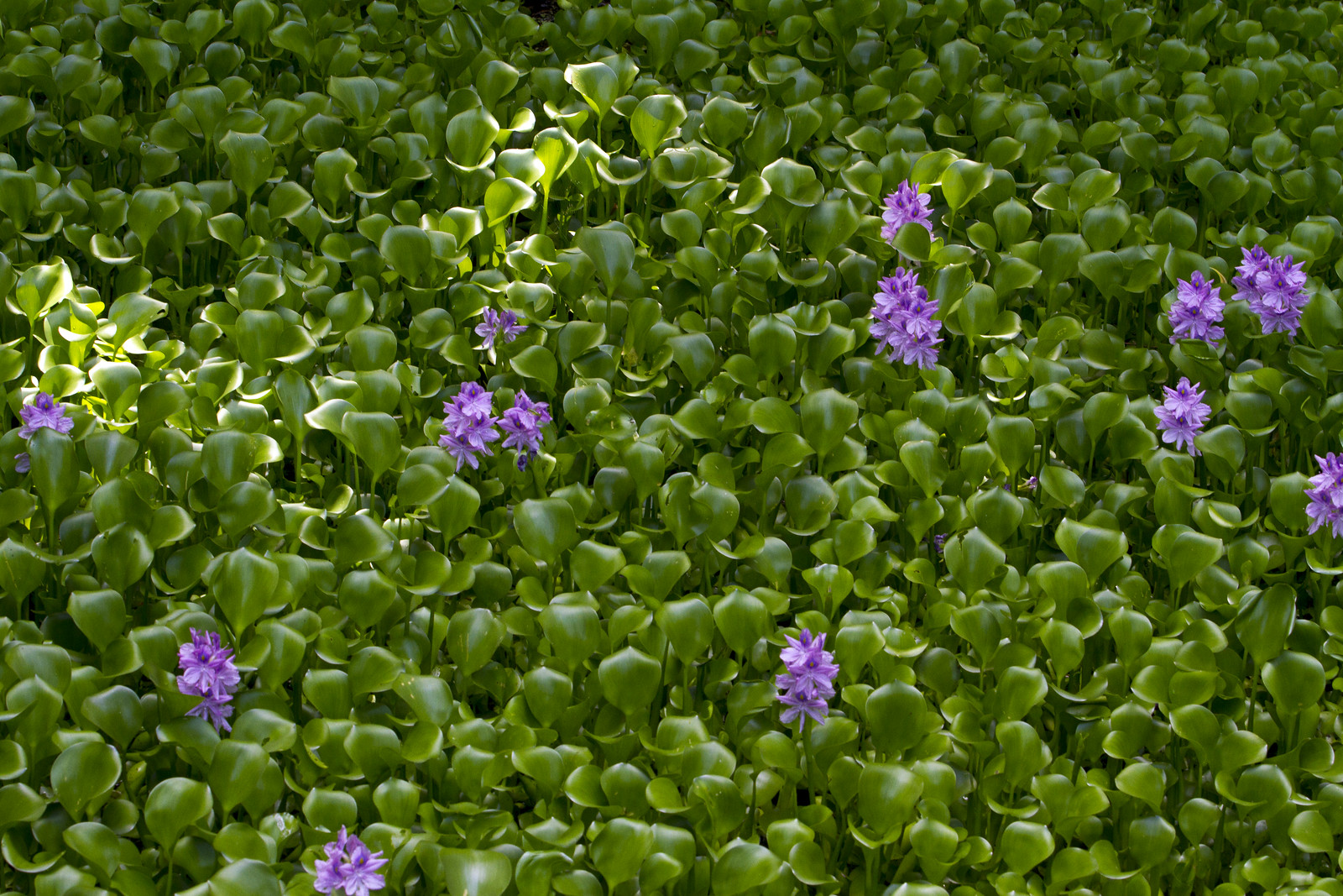 photo of water hyacinth