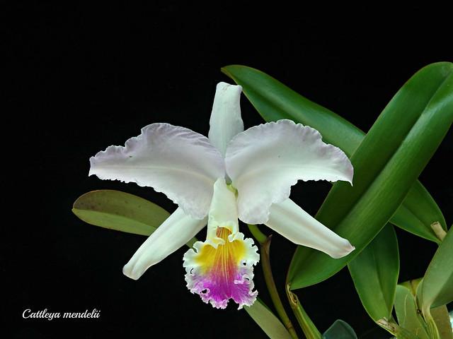 Cattleya mendelii