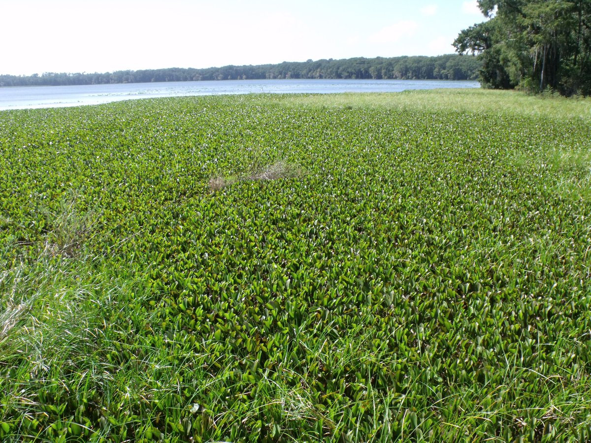 Florida's Ongoing Struggle with Non-Native Water Hyacinth