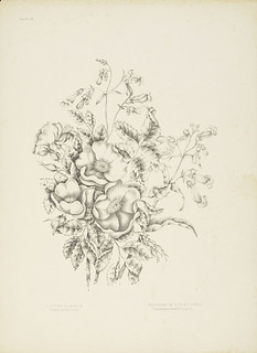 Canadian Wild Flowers, Plate VII / Canadian Wild Flowers, lithographie VII