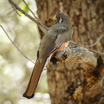 Lady Coppery - tailed