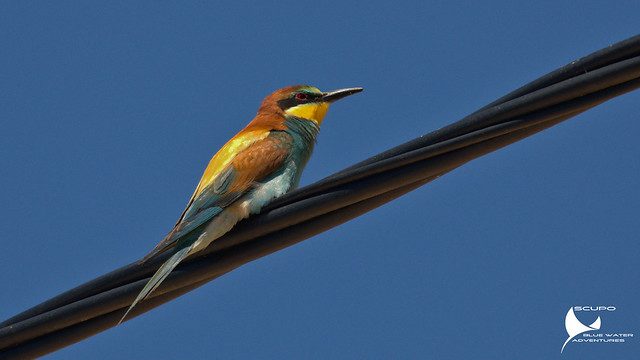Abelharuco-comum / Merops apiaster / European bee-eater