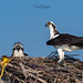 Osprey of the Jersey Shore | 2019 - 11