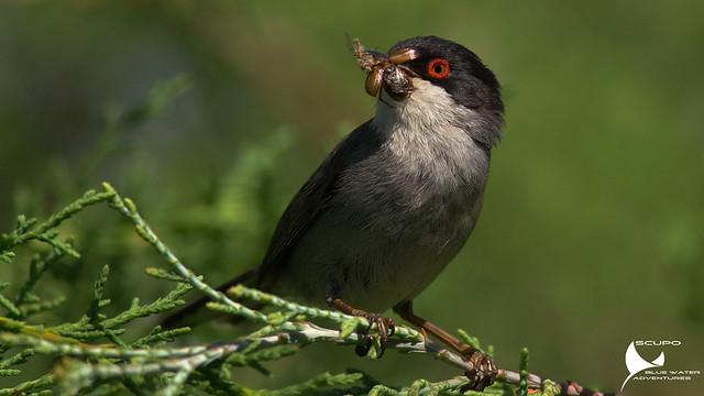 Toutinegra-dos-valados / Sylvia melanocephala / Sardinian warbler