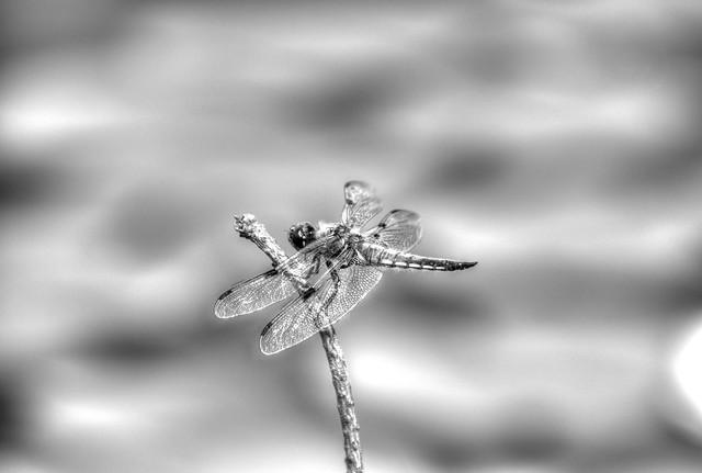 Viervlek (Libellula quadrimaculata)   --HDR--