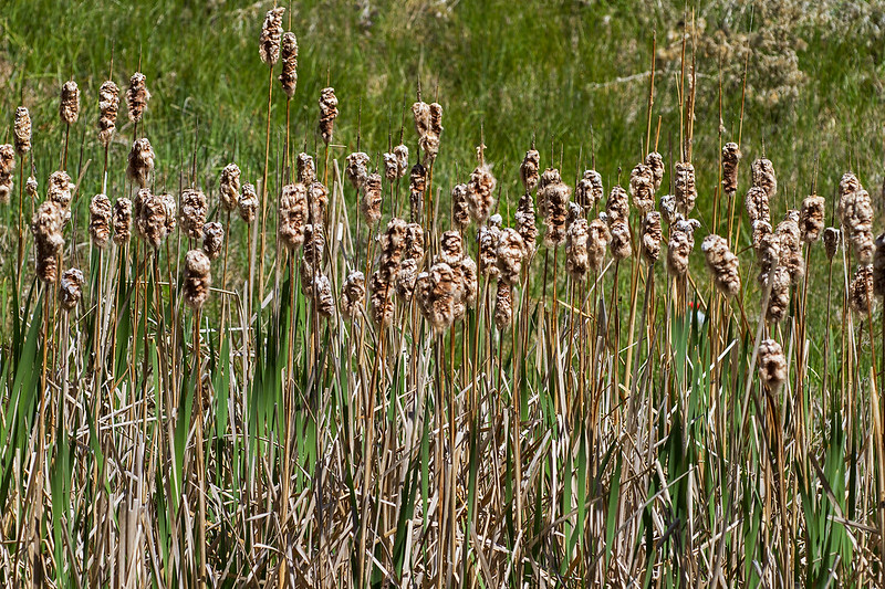 Cattails-8-7D1-053119