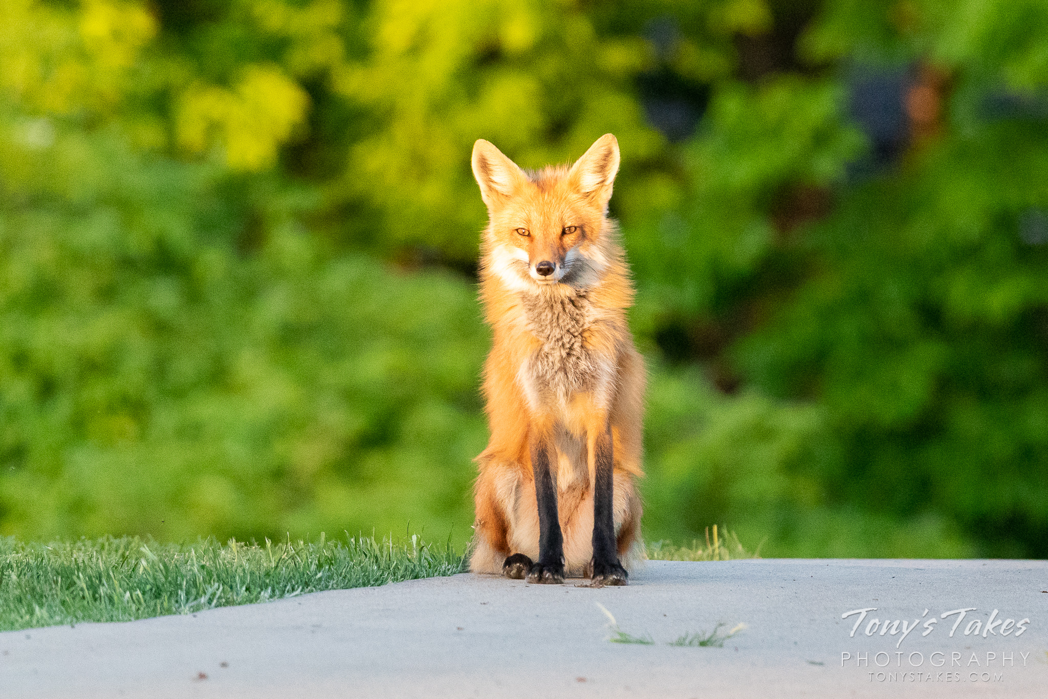 A red fox vixen enjoys a quiet evening in the suburbs. (© Tony's Takes)
