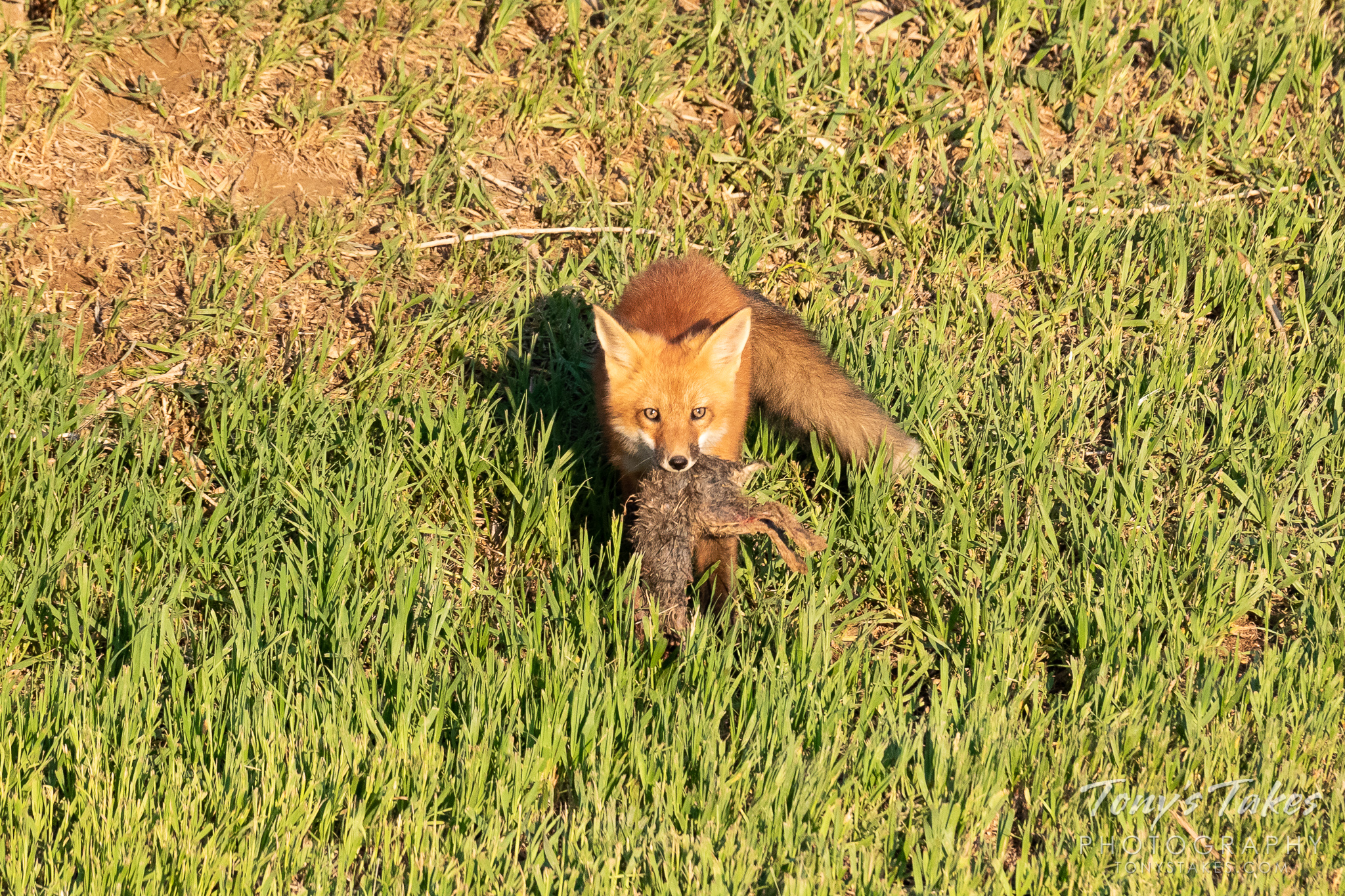 A fox kit and its rabbit dinner. (© Tony's Takes)