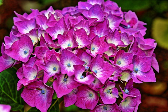 The flower language for hydrangea varies with color.