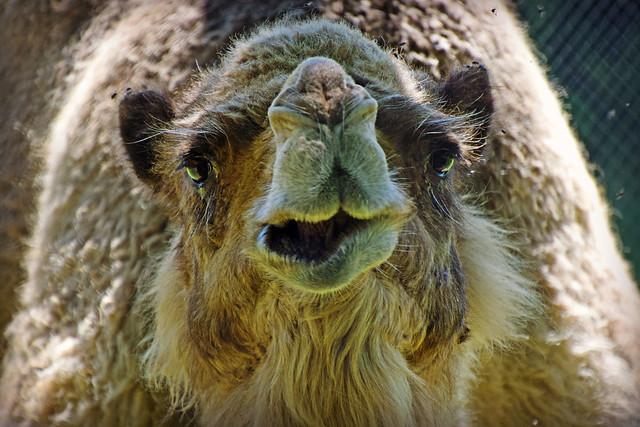 One Frustrated Camel