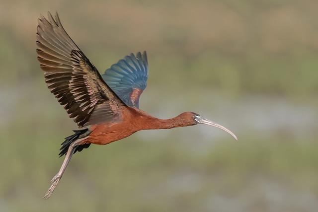 Glossy Ibis (explored 6/7/19)