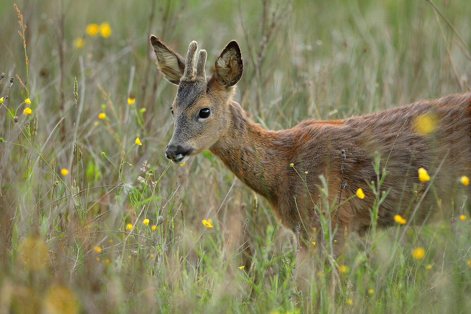 Yearling Roe Buck Eating Buttercups
