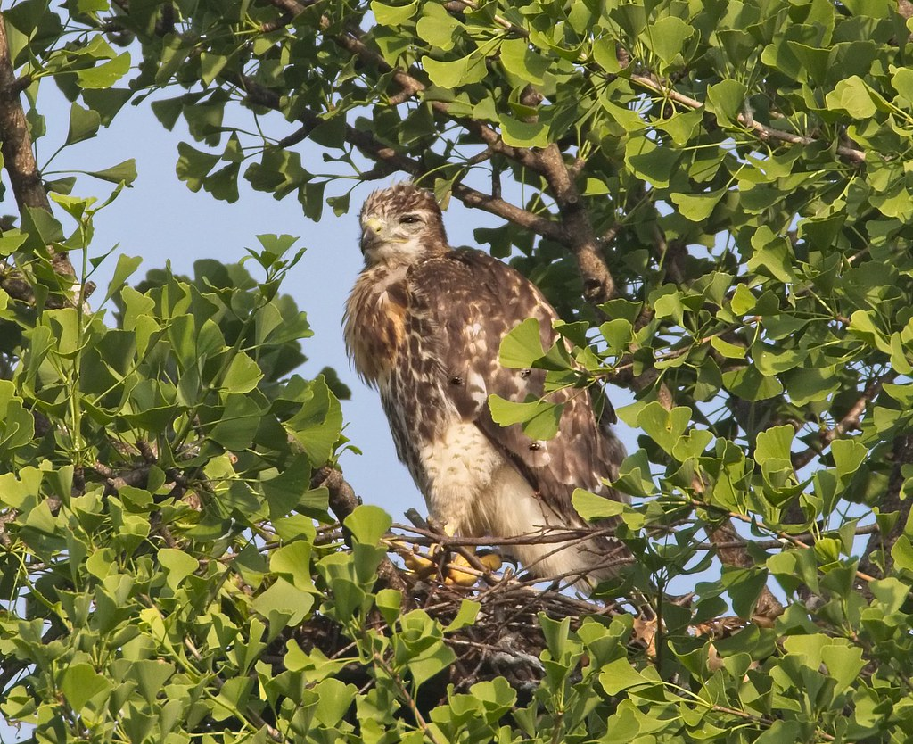 Tompkins red-tail nestling with flies