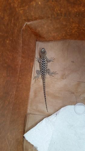 Bag Lizard