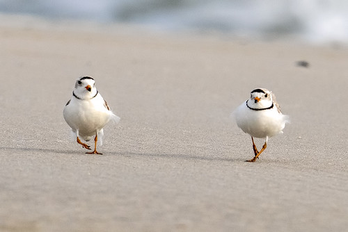 Nickerson Beach: Piping Plover Couple in April 2044