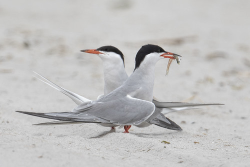 Nickerson Beach: Common Tern Mating Rituals 7164