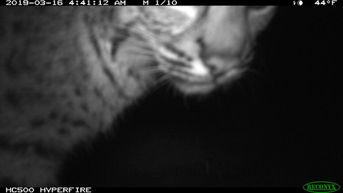Lynx rufus (Bobcat); 3/16/2019; motion sensor camera; San Mateo County, Santa Cruz Mountains, California, U.S.A.
