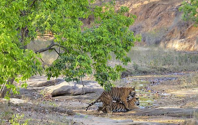 India, mating season