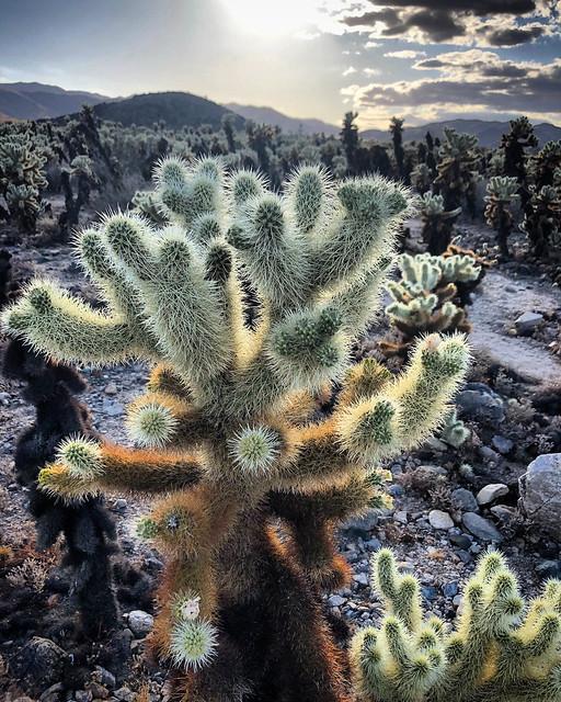 Cholla Cactus Garden - Joshua Tree National Park, California