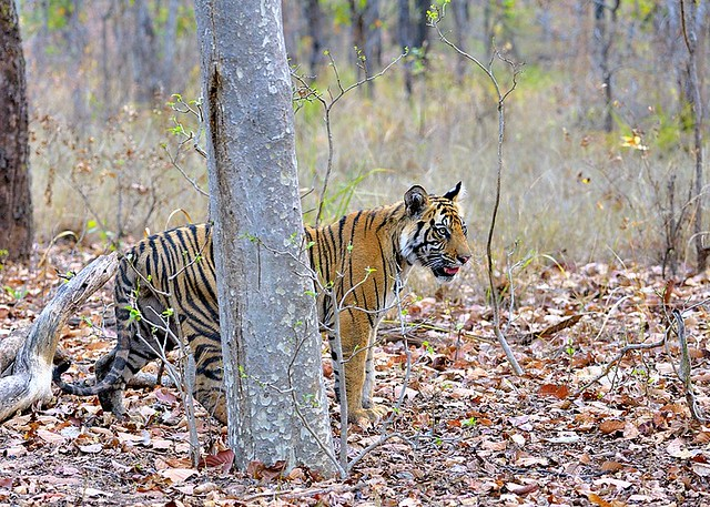 India, young tiger
