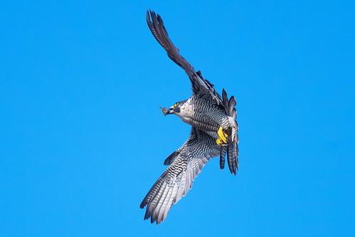 peregrine falcoperegrinus falcon birdofprey wildlife nature spring wildandfree sunlight blue yellow grey black white nikon d500 300mmpf 14xtc belpereastmill belper derbyshire klythawk