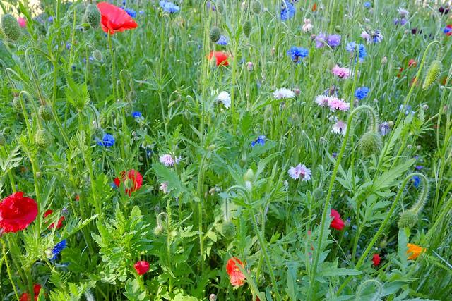 Goose Green Meadow