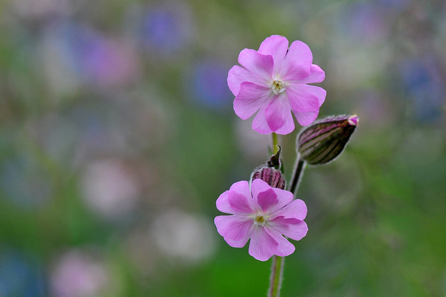 Red Campion flower (Silene Dioica)