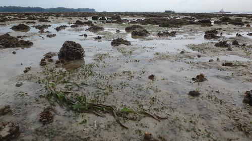 Tape seagrass (Enhalus acoroides) and Spoon seagrass (Halophila ovalis)