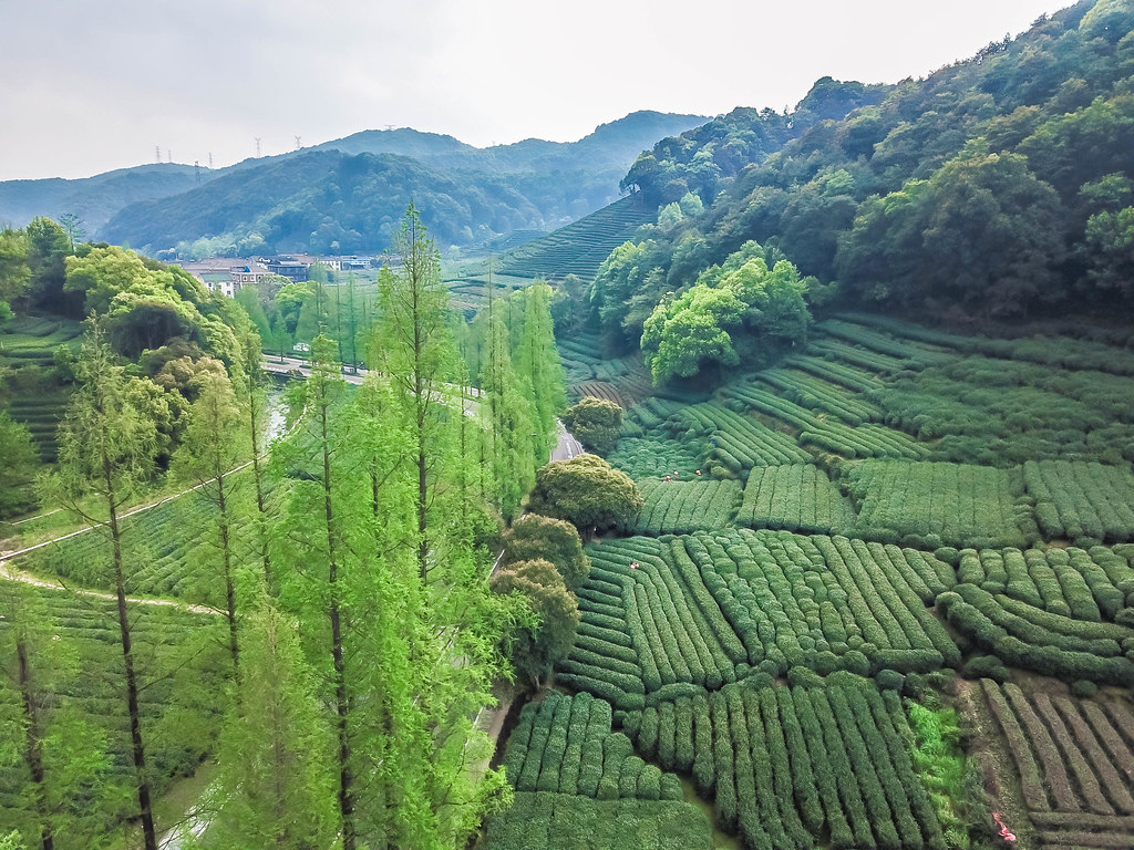 hangzhou-tea-picking-alexisjetsets-23