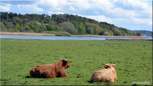 5 Highland Cattle (2)