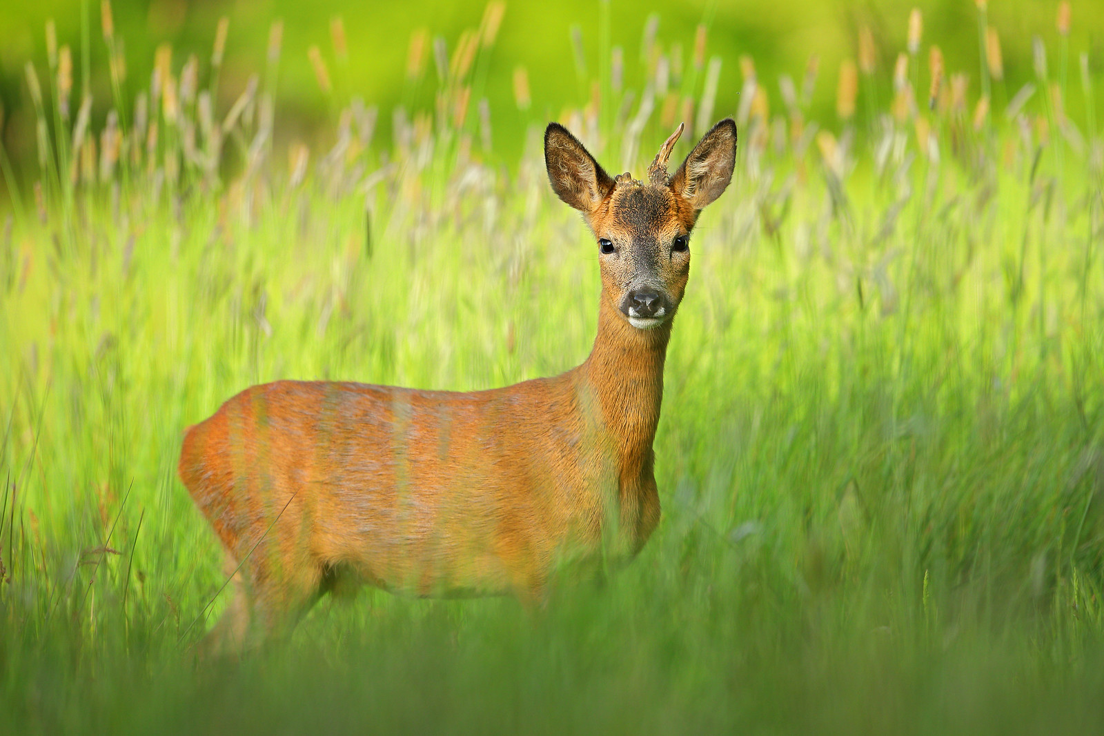 Yearling Roe Deer