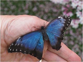 Blue Morpho on hand