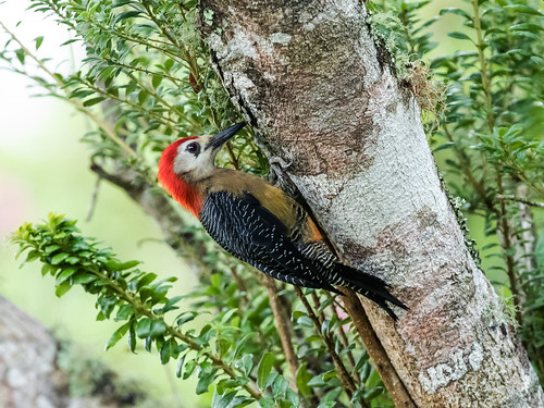 Jamaican Woodpecker | by nickathanas