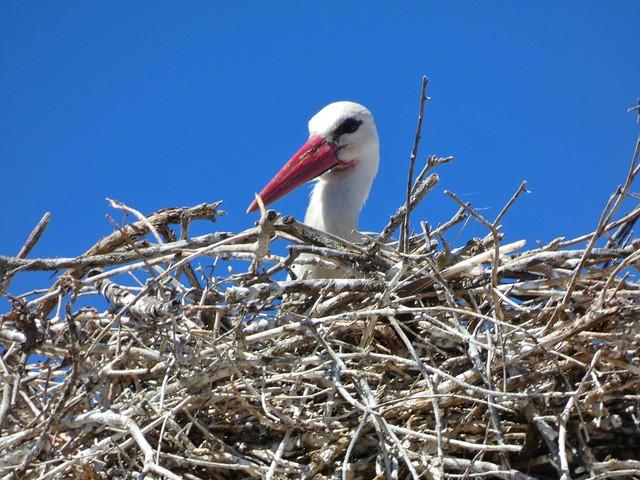 Cigüeña blanca en Brozas (Parque Natural Tajo Internacional)