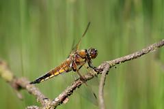 Dragonfly at Terhorsterzand