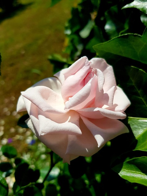 The Rose....