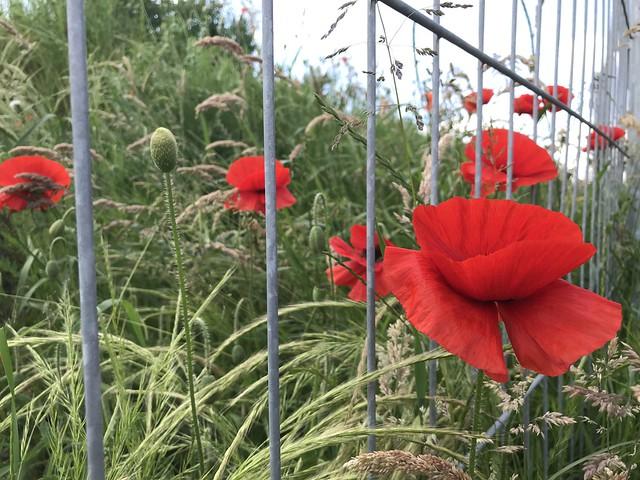 [poppy-fence]