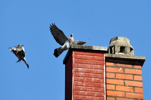 Juni 2019 ... Taubenpaar unter blauem Himmel ... Kabale oder Liebe? ... Foto: Brigitte Stolle