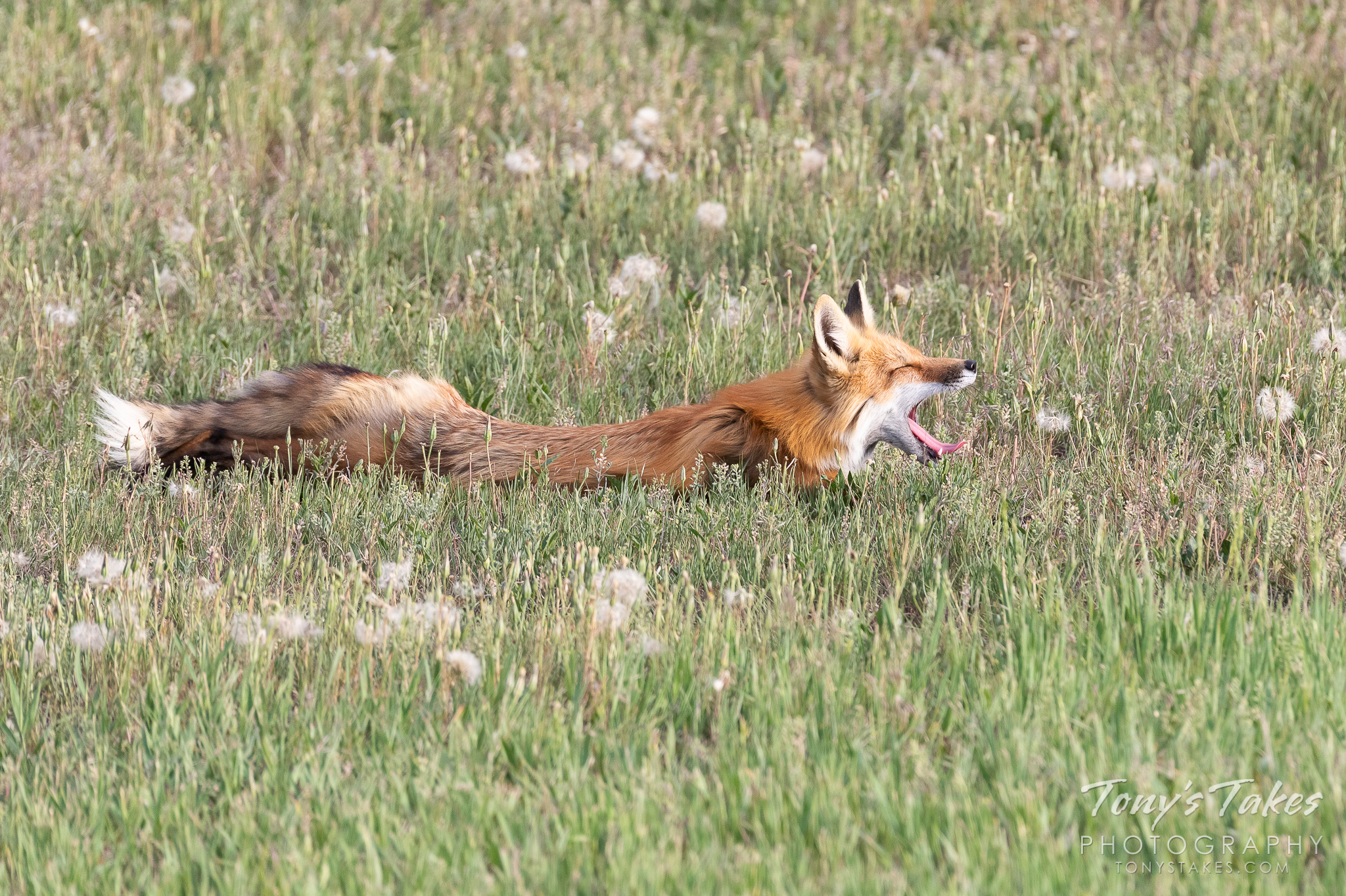 A red fox vixen stretches out and yawns in Thornton, Colorado. (© Tony's Takes)